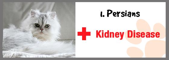 Kidney Disease in persian cats