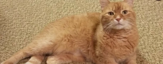 Sammy the cat's recovery post perineal urethrostomy