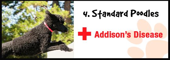 Standard Poodles: Addison's Disease