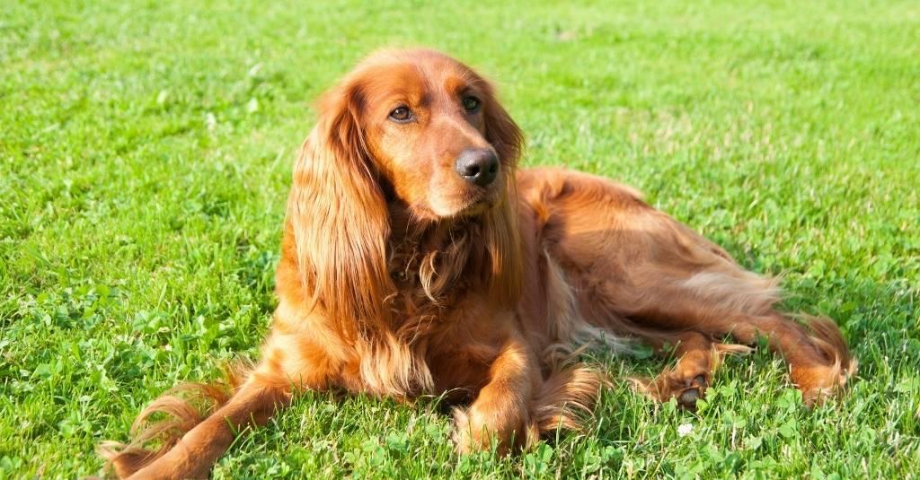 Vet Talk: Cushing's Disease in Dogs