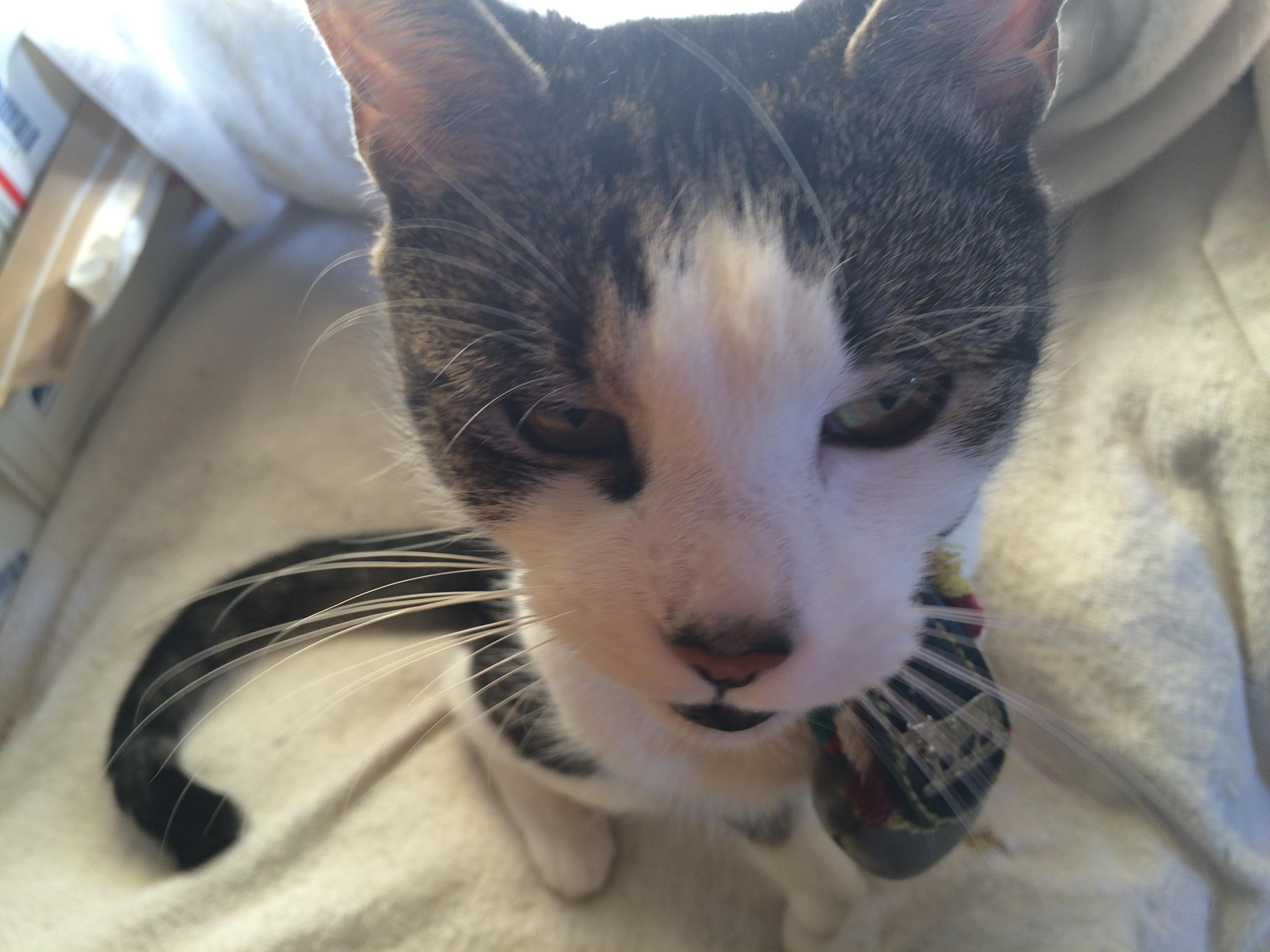 Cat with kidney stones