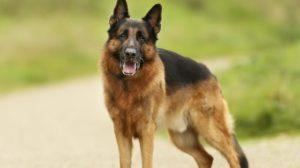 German shepherd degenerative myelopathy