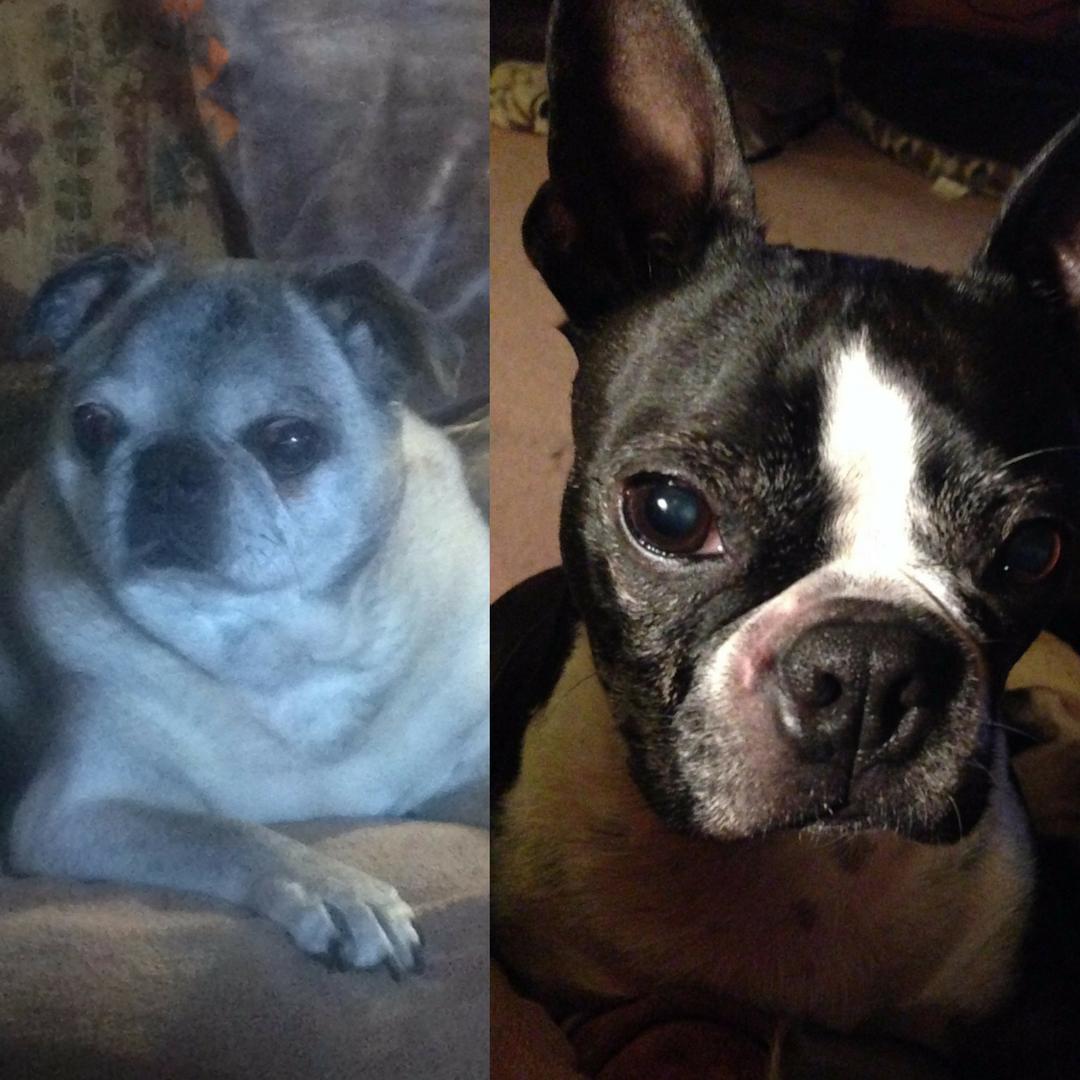 senior dogs pug and boston terrier