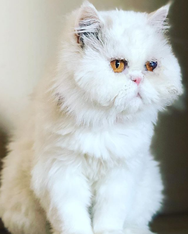 after herbal eye drops from NH persian cat Abby shows amazing improvement