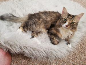 peachez small cat