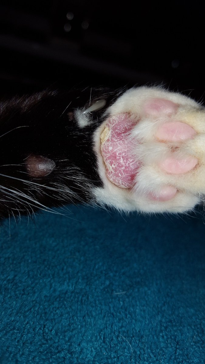 pillow foot in cats herbie