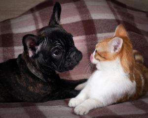 Friendship, love cats and dogs. Black Dog Bulldog, white cat transform
