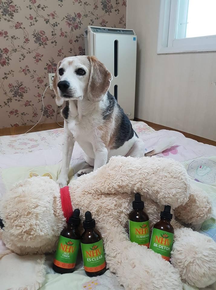 miso-beagle-arthrits-nhvsupplements
