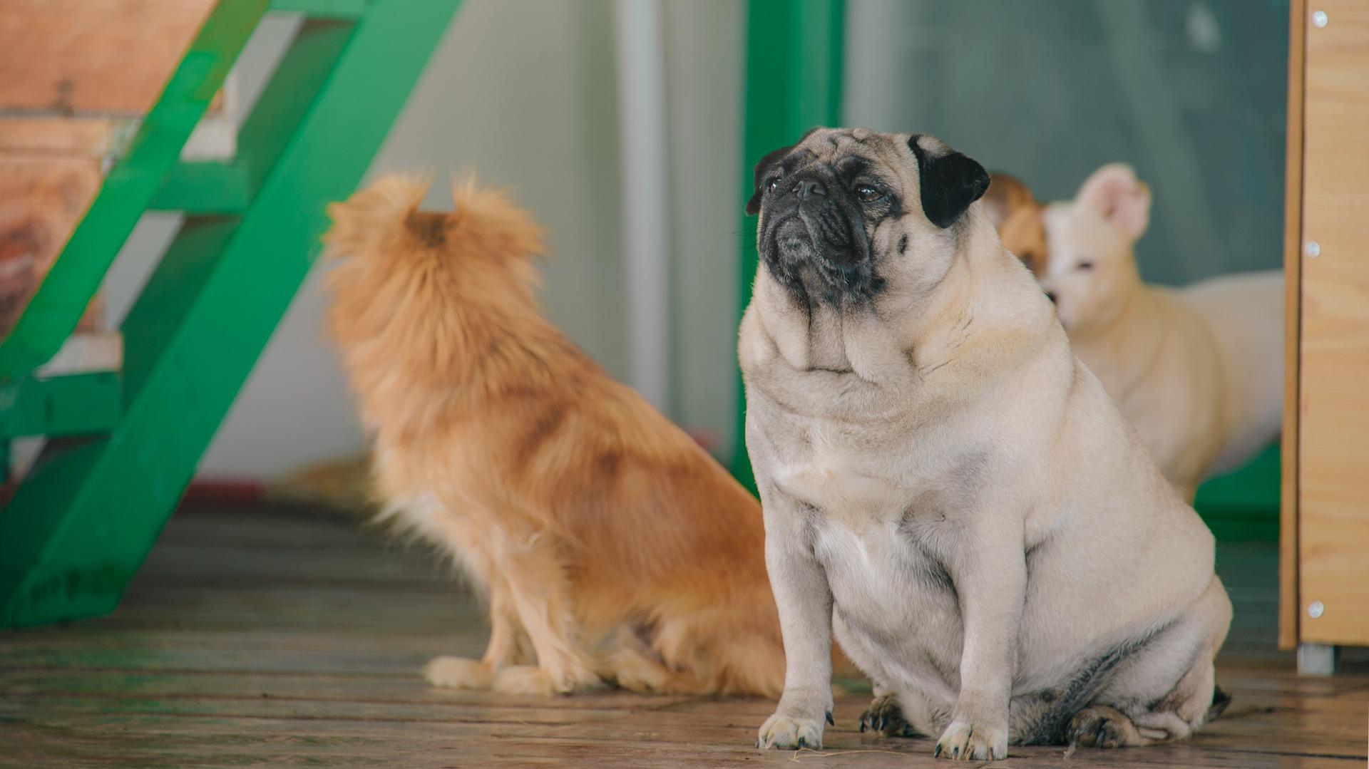 obesity dog pancreatitis
