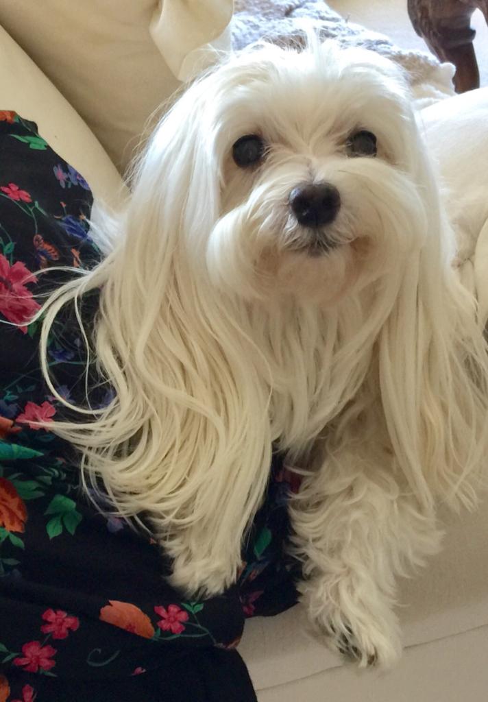 tobie the white maltese dog