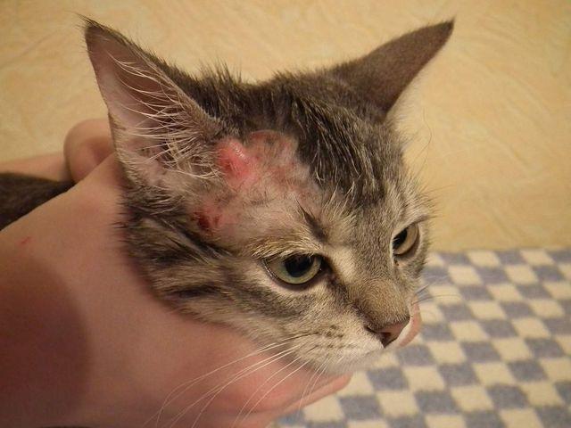 hot spots on cat's head