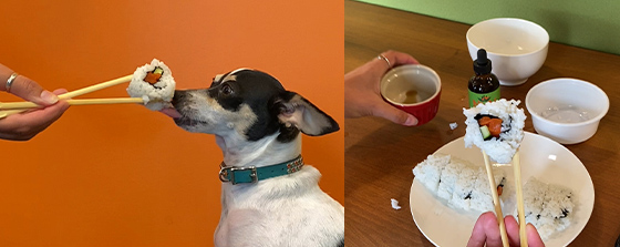 Rat terrier mix dog licking the sushi roll being held by chopsticks. Sushi recipe for dogs and cats