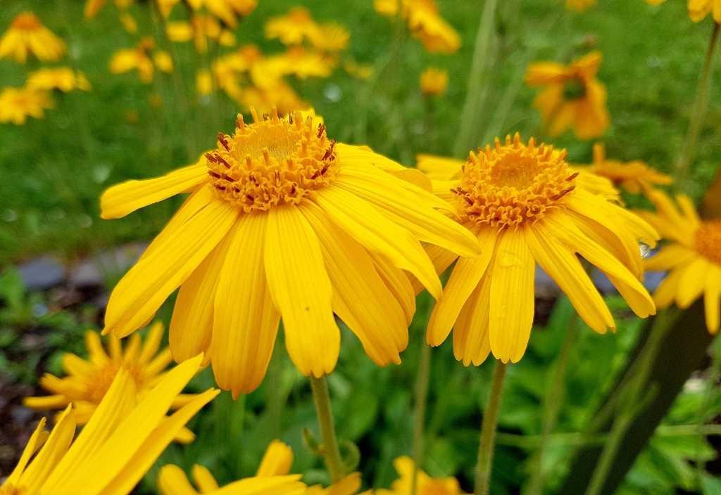 wild arnica flowers