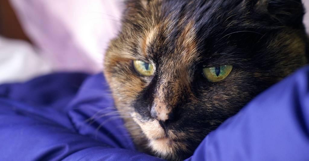 Sick cat laying on a blue blanket - feline calicivirus