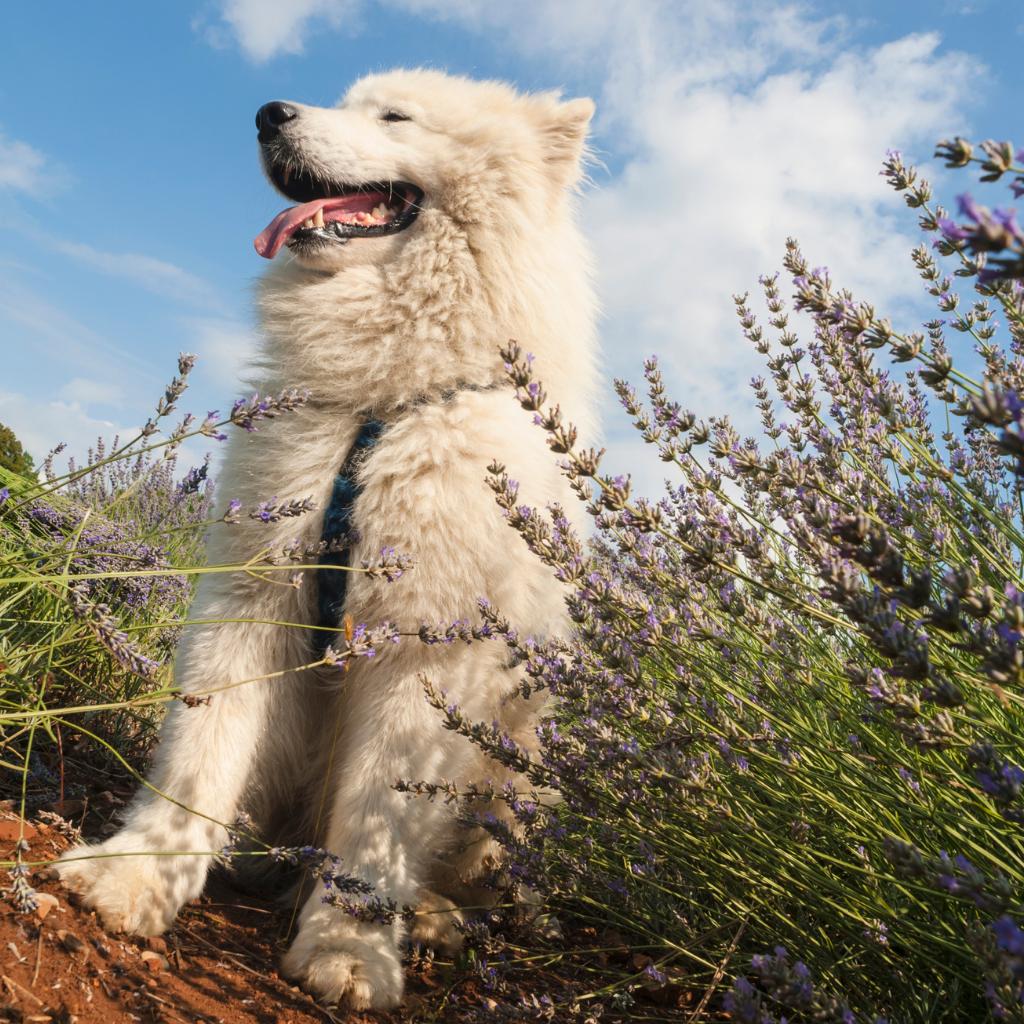 dog in field of lavender - is lavender safe for pets?