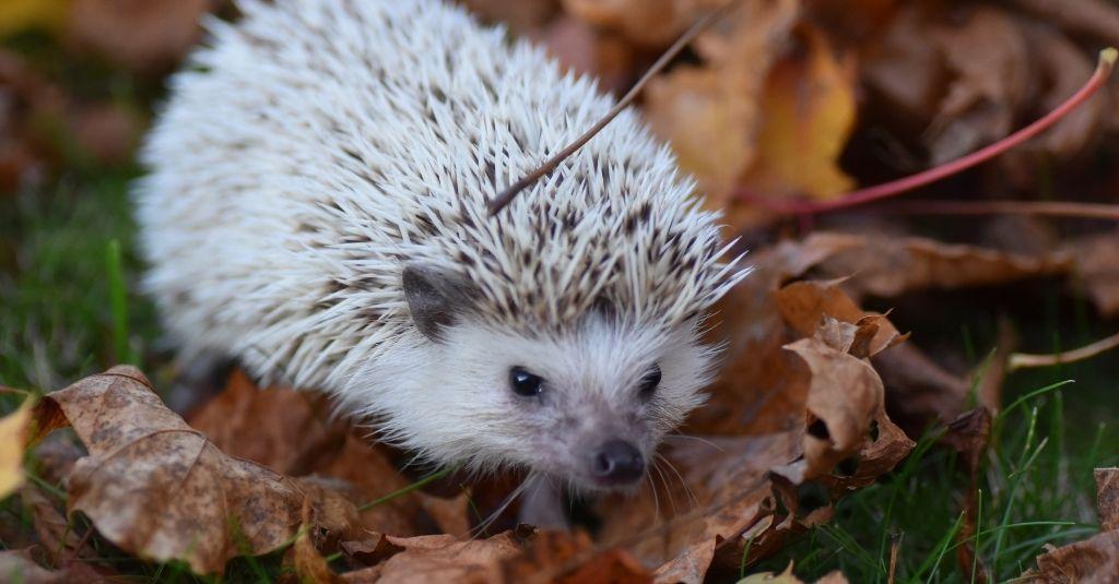 African pygmy hedgehog walking on autumn leaves