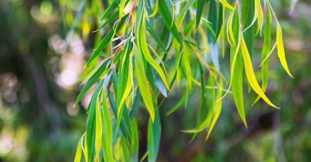 Eucalyptus globulus tree. Is eucalyptus safe for pets?