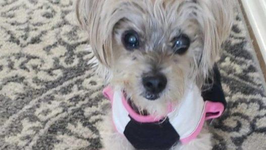 Daisy May a 16-year-old dog with a sarcoma