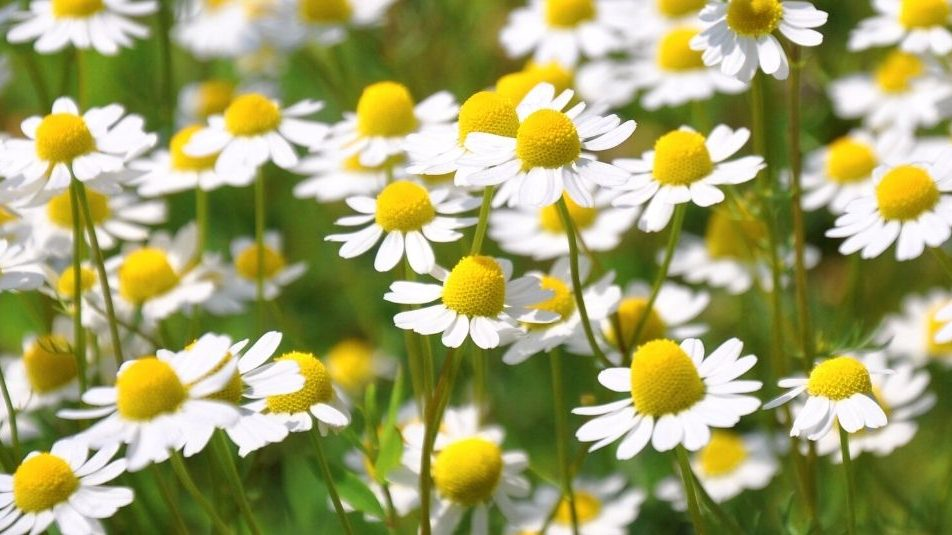 a field of white chamomile flowers outside. Is chamomile safe for pets?