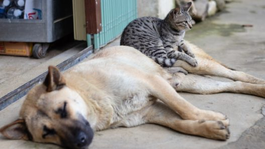 cat and dog with pancreatitis