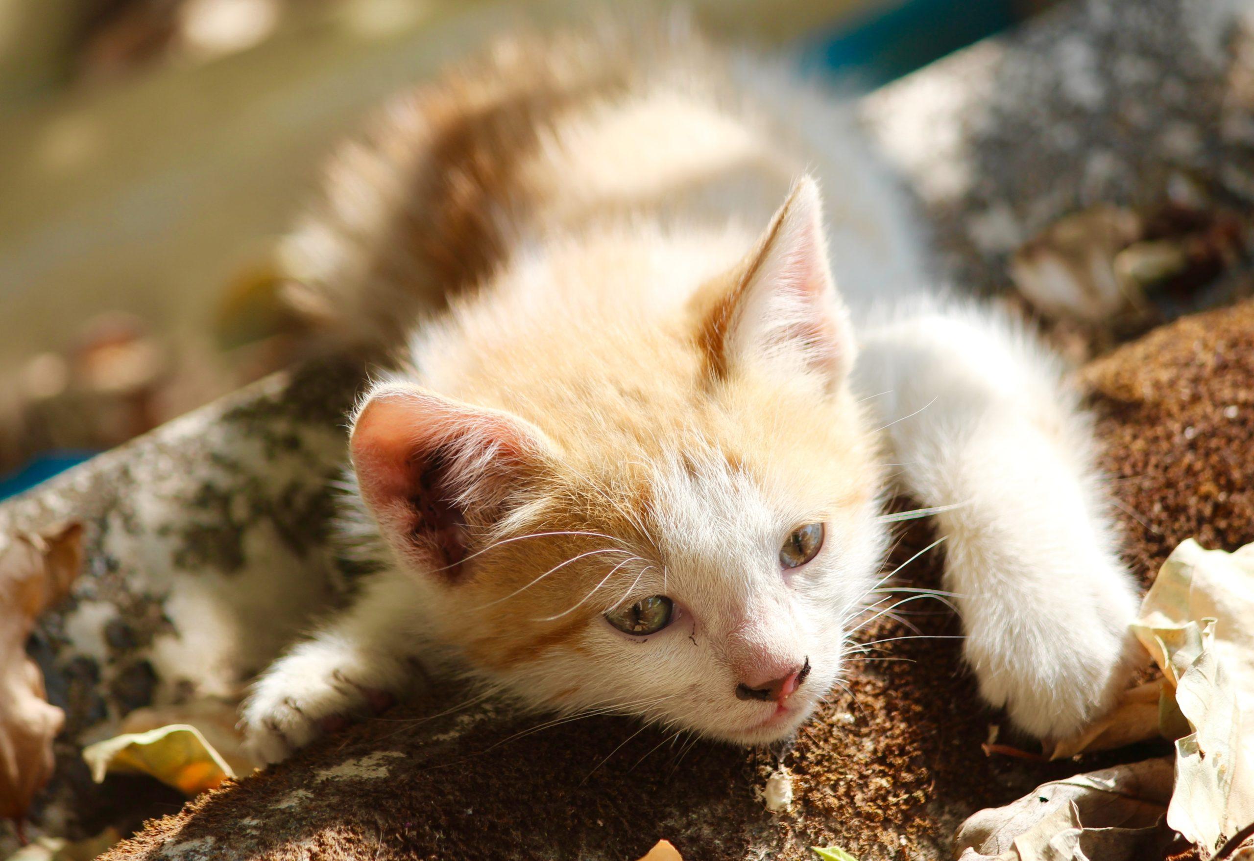 cat with feline leukemia virus (felv)