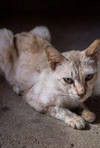 cat-with-leukemia-virus