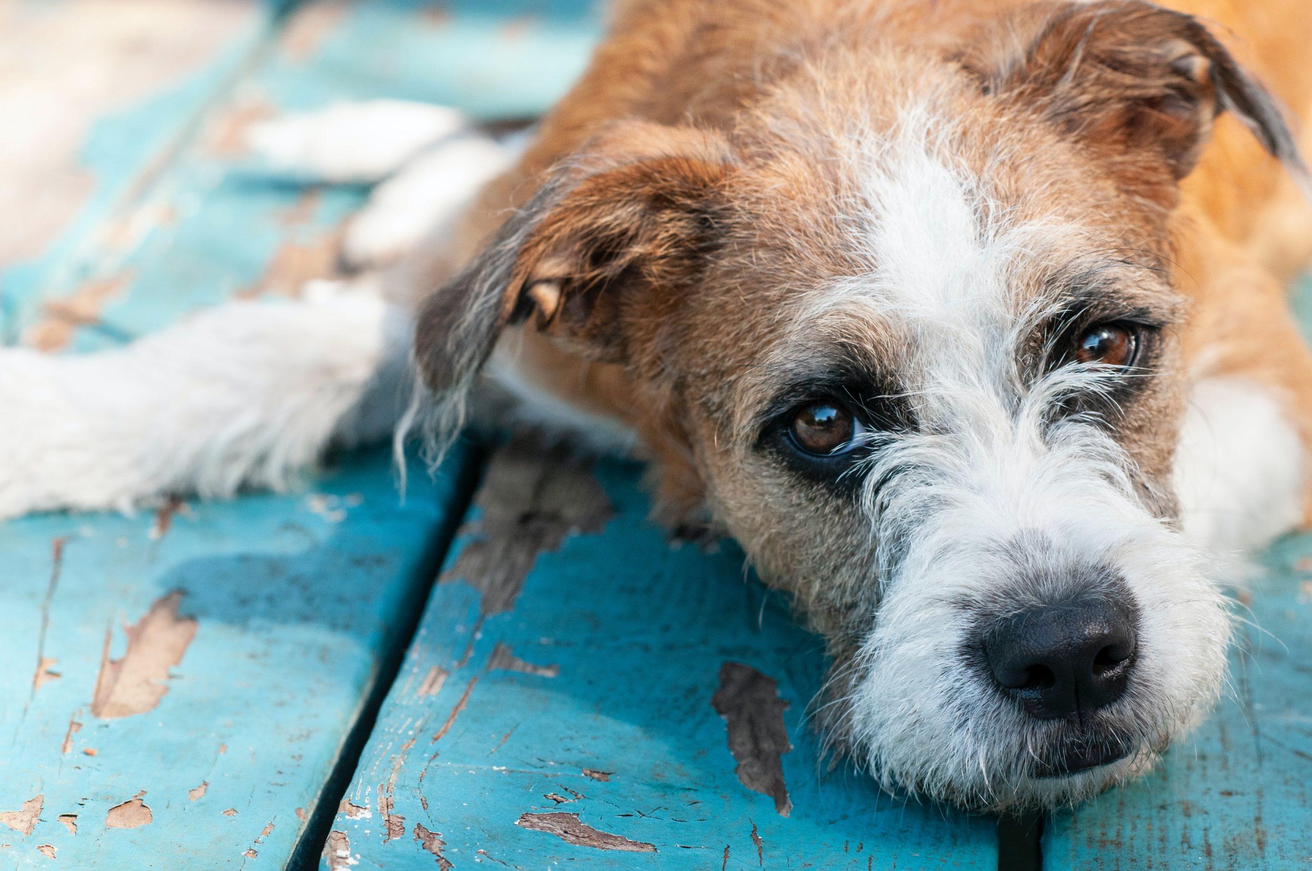dog with bladder stone