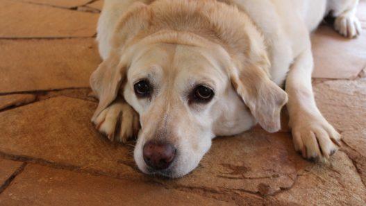 Dog with hyperadrenocorticism