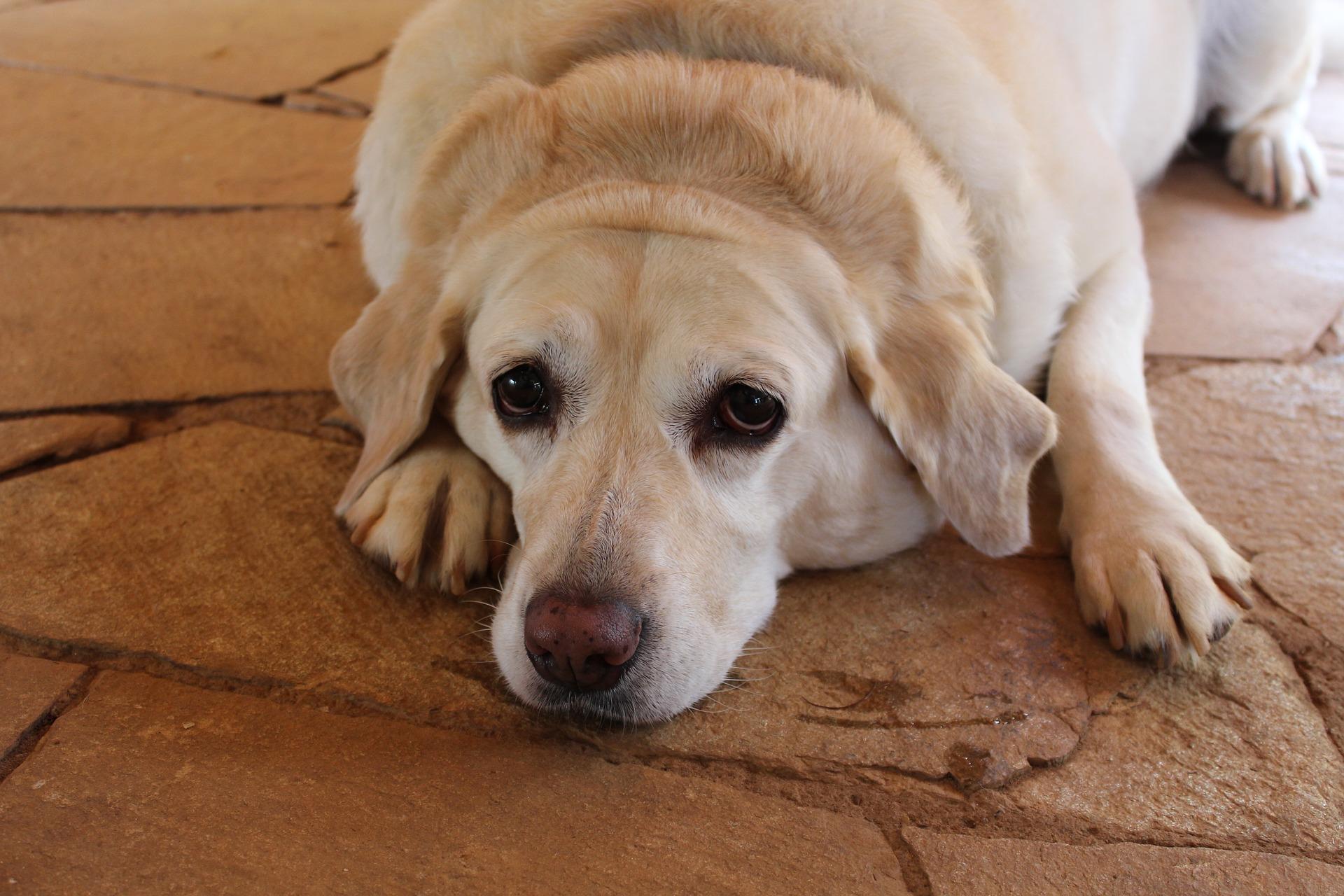 Hyperadrenocorticism in Dogs Cushing's Disease