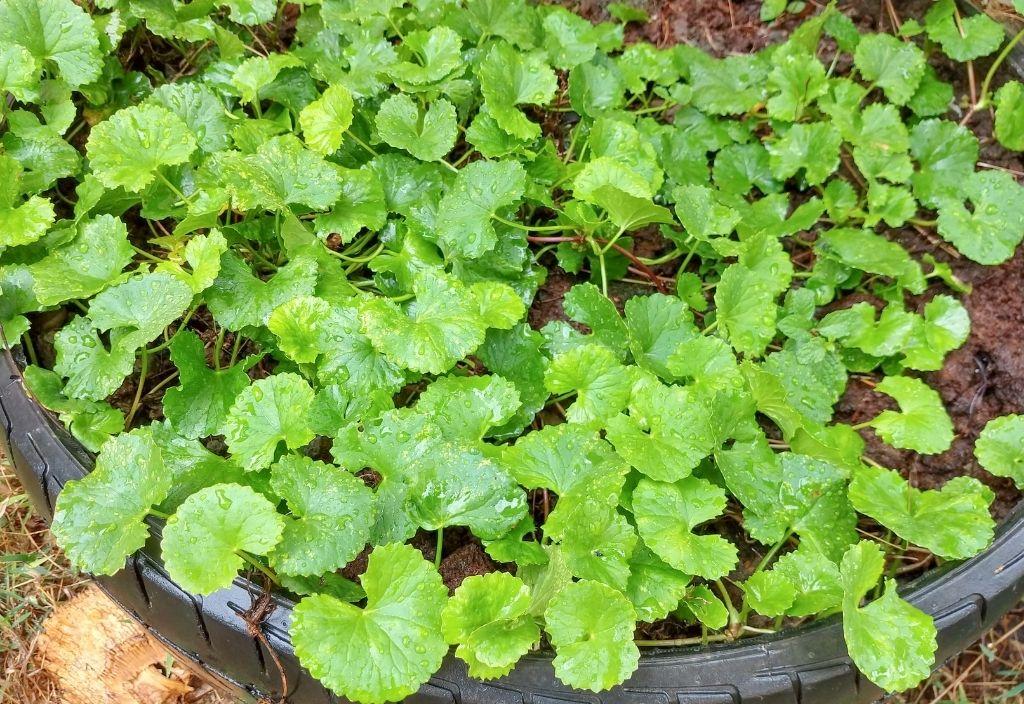 Gotu kola plant growing in a garden.
