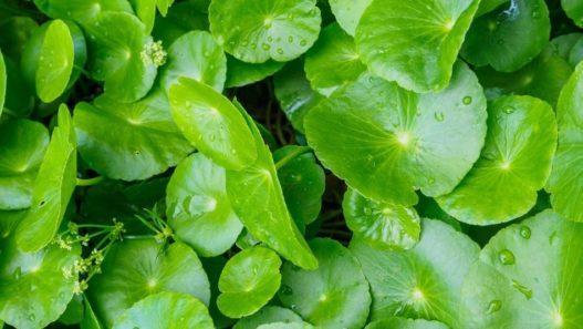 Close up of Gotu kola herb leaves with dew drops on them. Is Gotu kola safe for pets?