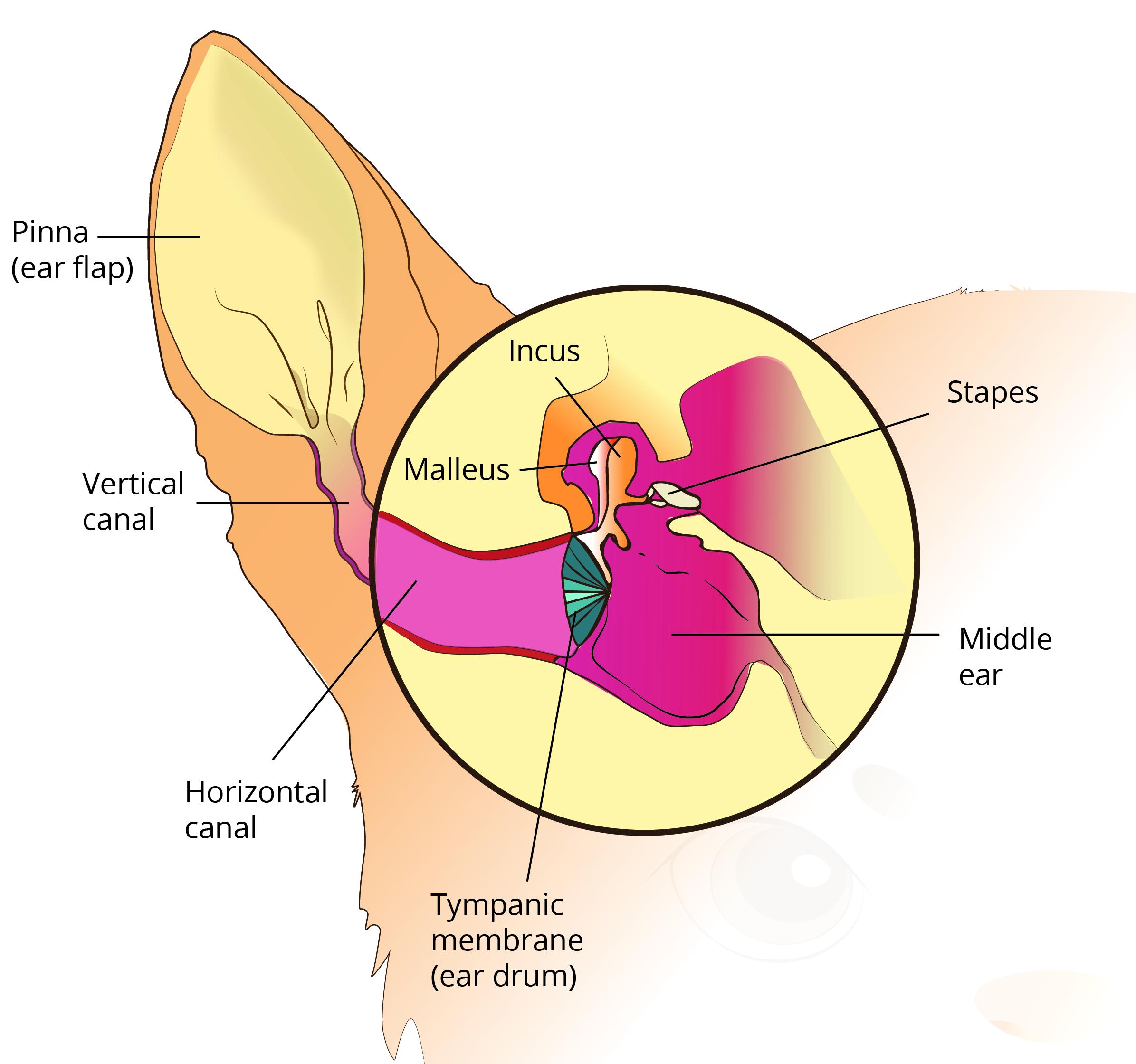otitis externa in dogs