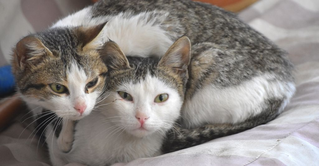 Two cats snuggling together on a bed. How to help your cats get along.
